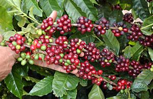 kahlua kahve çekirdekleri ile ilgili görsel sonucu